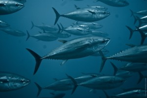 fish-allergy-tuna-school-sea
